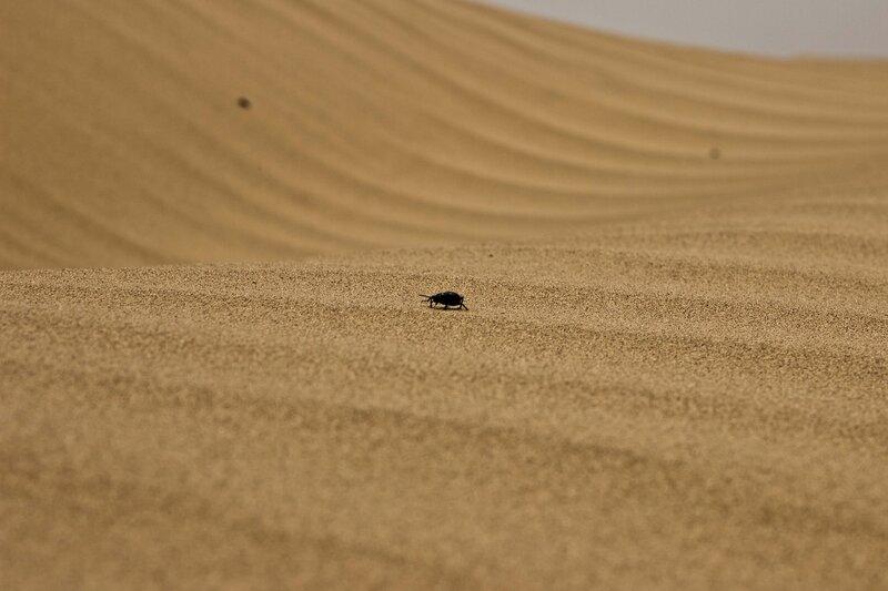 черный жук чернотелка в пустыне