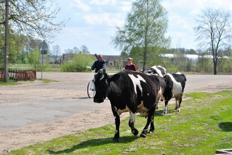 Фото деревенских коров