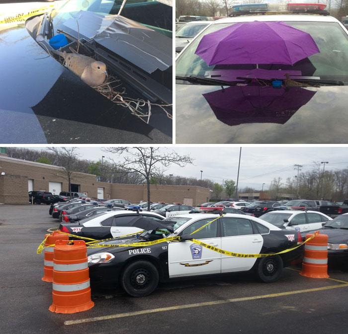 Голубь свил гнездо на одной из полицейских машин. Большинство людей наверняка прогнали бы птицу, одн