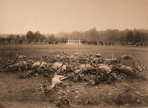 Олени, убитые во время охоты.