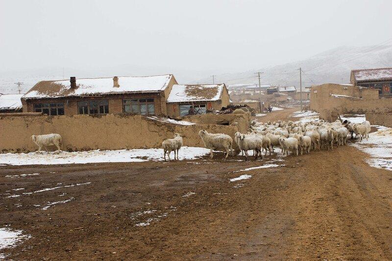 стадо овец в деревне во внутренней монголии, китай