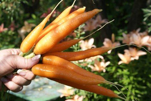 Лечение морковью