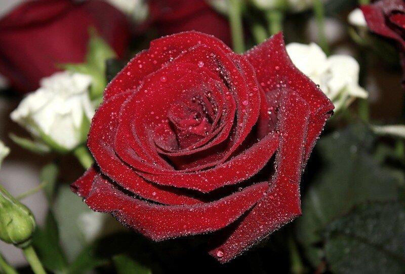Фото самой красиво розы