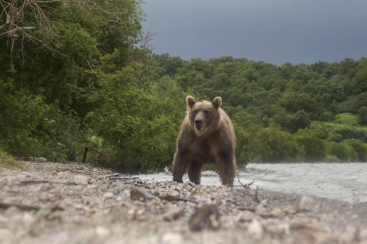 Медведи сначала удивлялись новому сооружению на пляже, но быстро привыкли, хотя обходили меня метра