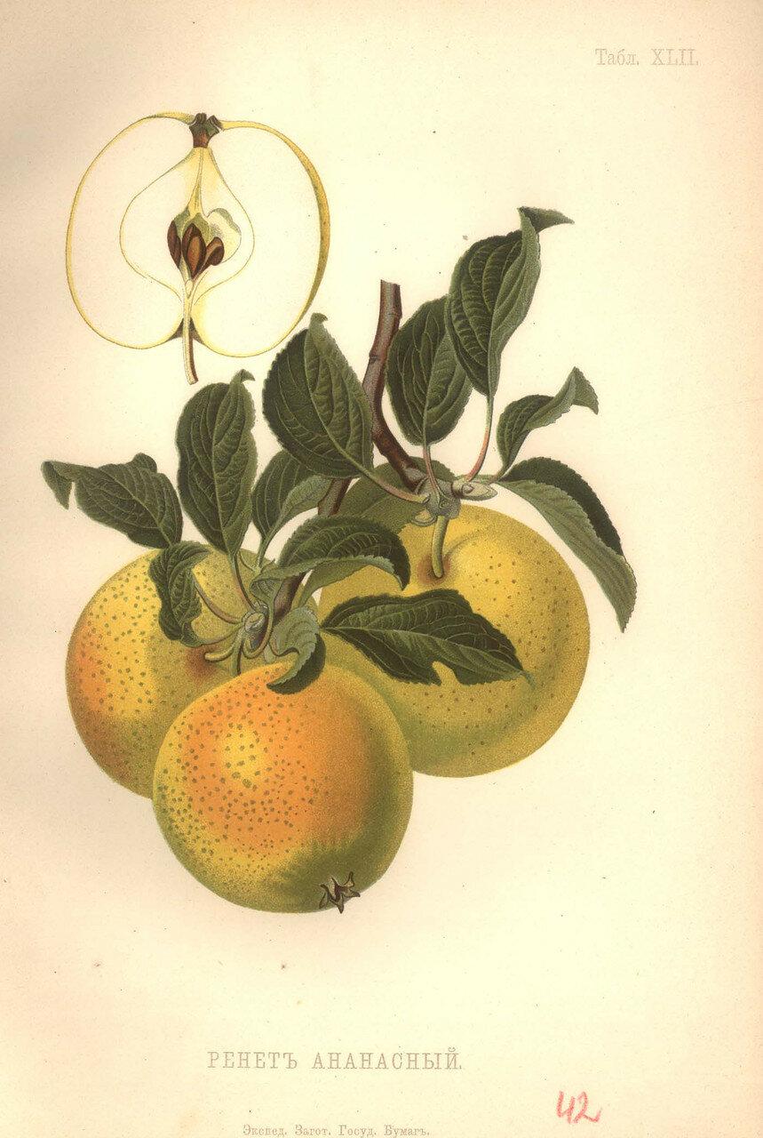 40. Ренет ананасный