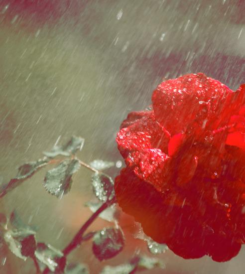 красная роза под дождем
