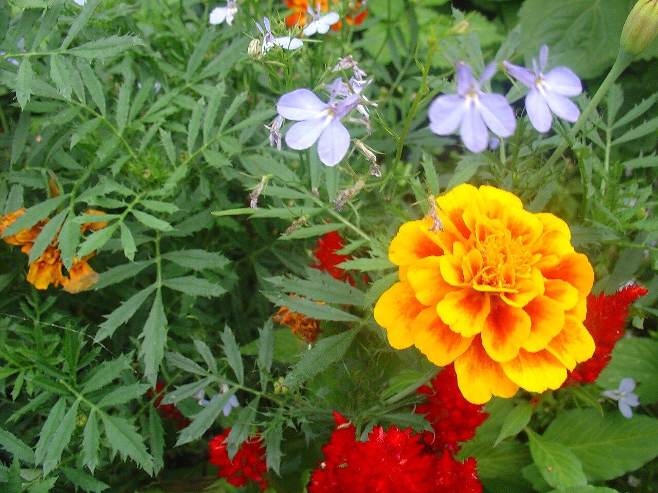 Владивосток. Ботанический сад. цветок Бархатцы. Tagetes.