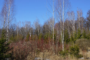 15 мартаКраснеют ветви дерена белого. В этом месте в советское время был питомник, последние посадки оказались никому не нужны. Вот и вышли джунгли по-нашему. Непролазные ряды разных растений - елей, лиственниц, дубов, кустарников.