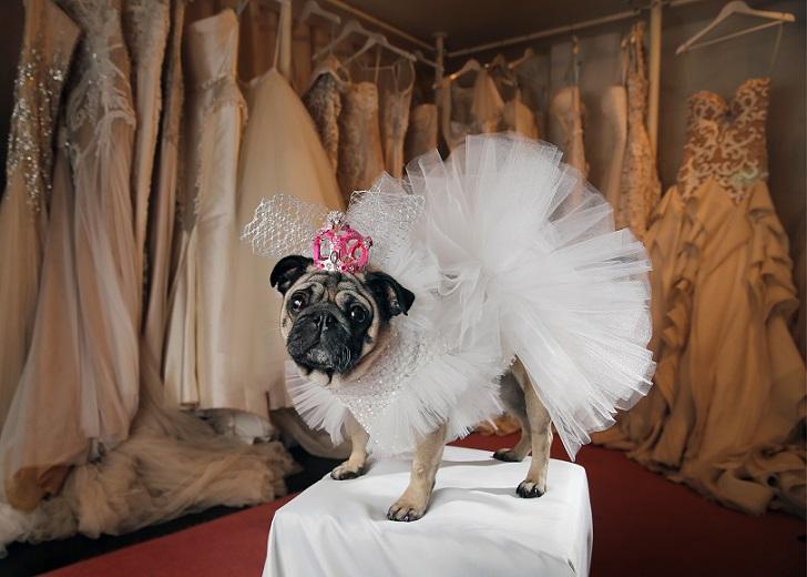 Собачья свадьба: совет да любовь Джасмин и Джасперу