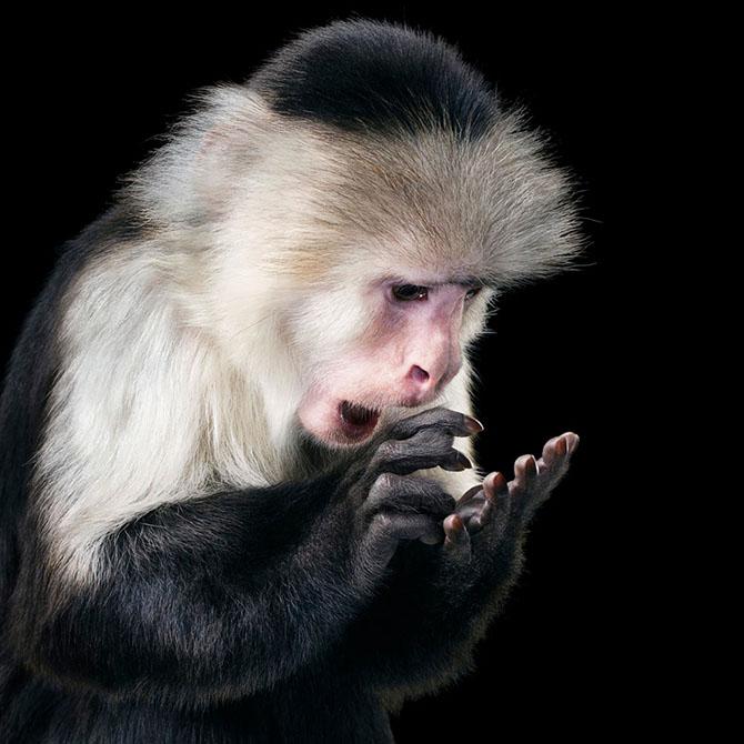 Апуцины часто подражают поведению человека. Этот капуцин по имени Рупи, судя по всему, набирает сооб