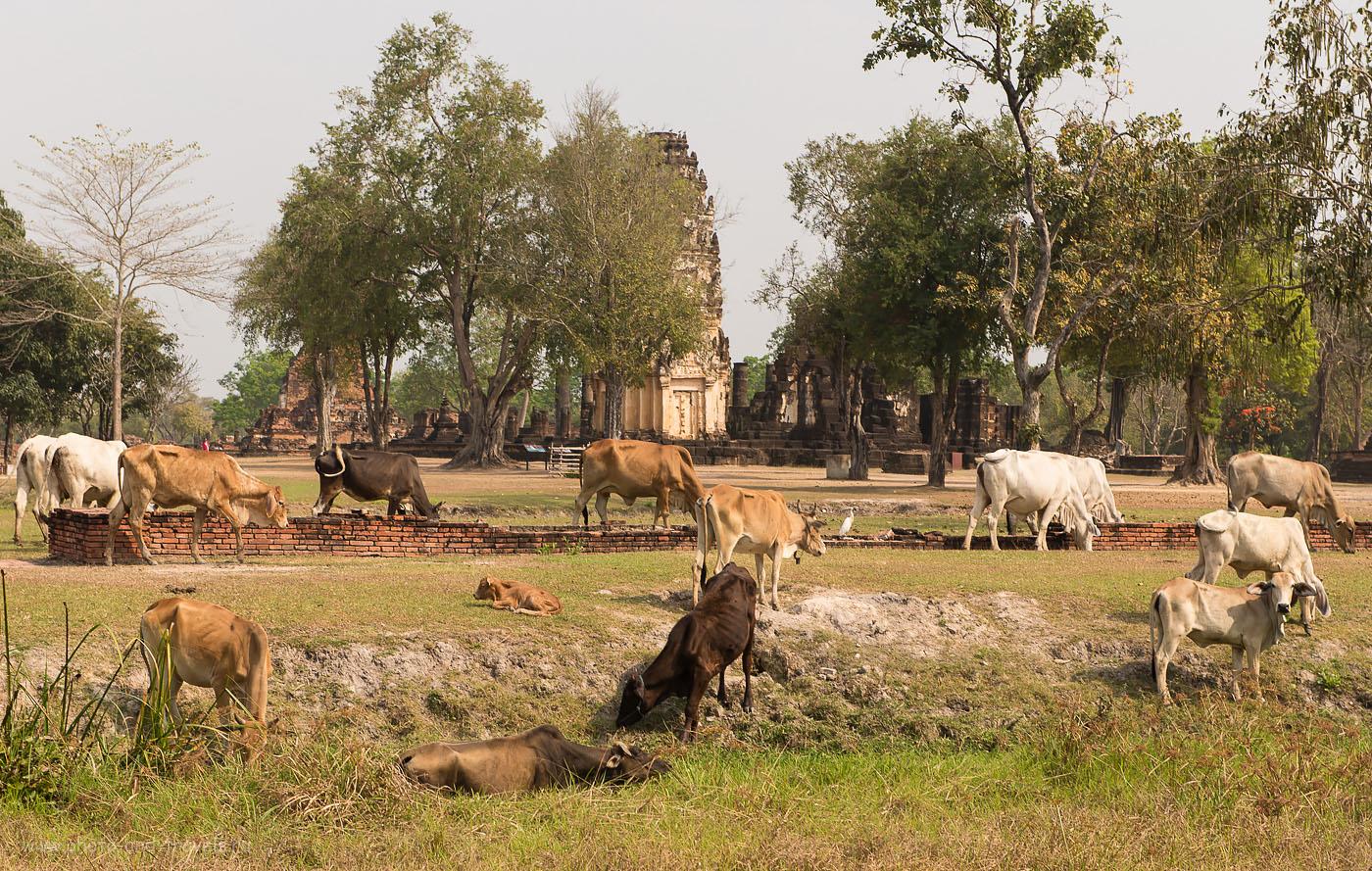 Фотография 20. Коровы в историческом парке Сукхотай. Тур на машине по Таиланду самостоятельно.