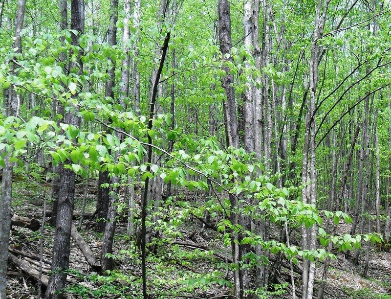 В лесу обновлённом ... SAM_7612 - 1.JPG