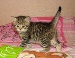 Кошечка скоттиш-страйт браун-табби