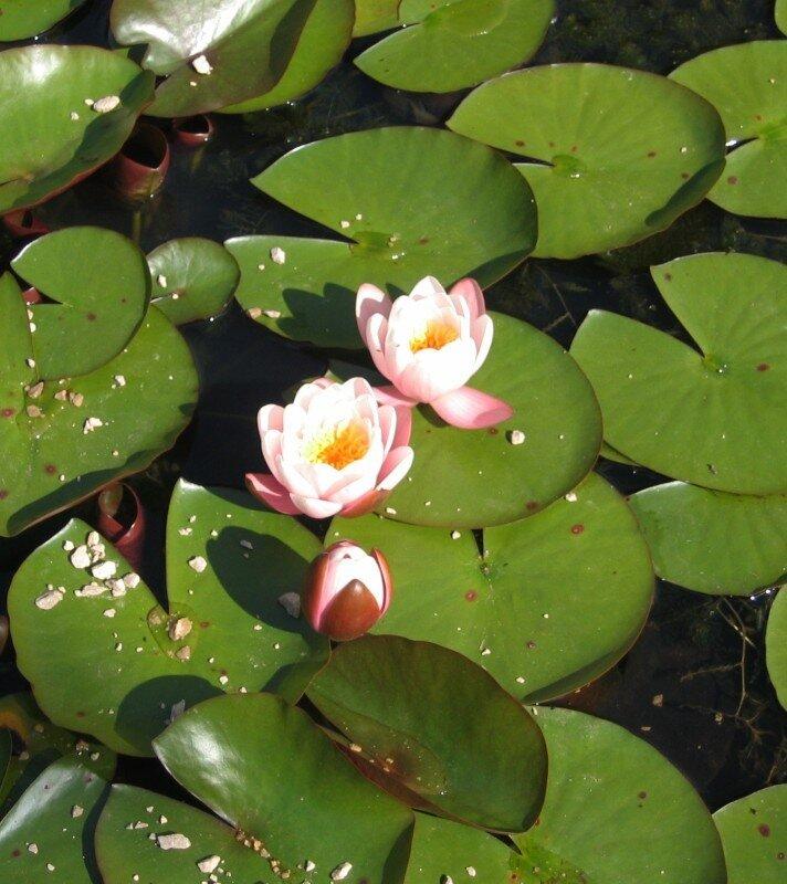 Цветы Оксфорда