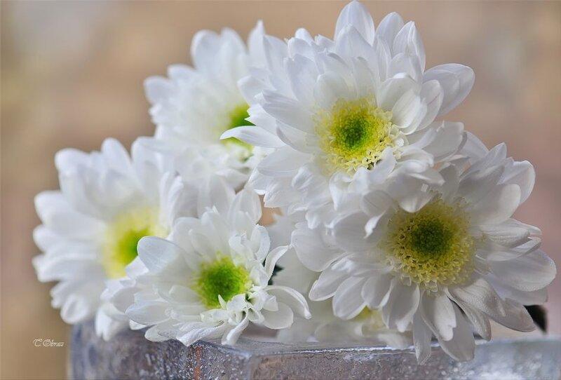 Белые хризантемы на фото и открытках, мужчины открытки видео