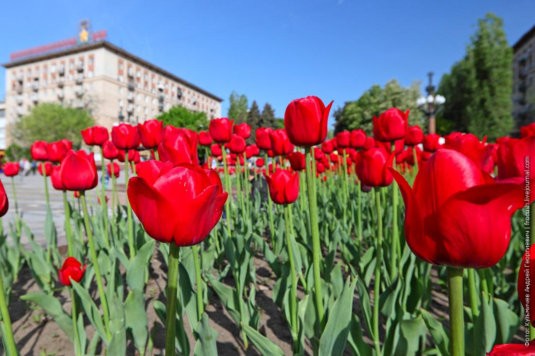 Волгоград цветущие тюльпаны
