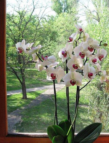 орхидея Фаленопсис Winnipeg