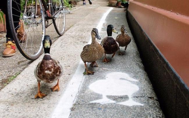 ВАнглии появились выделенные полосы для необычных пешеходов. Теперь городские утки Лондона, Бирминг