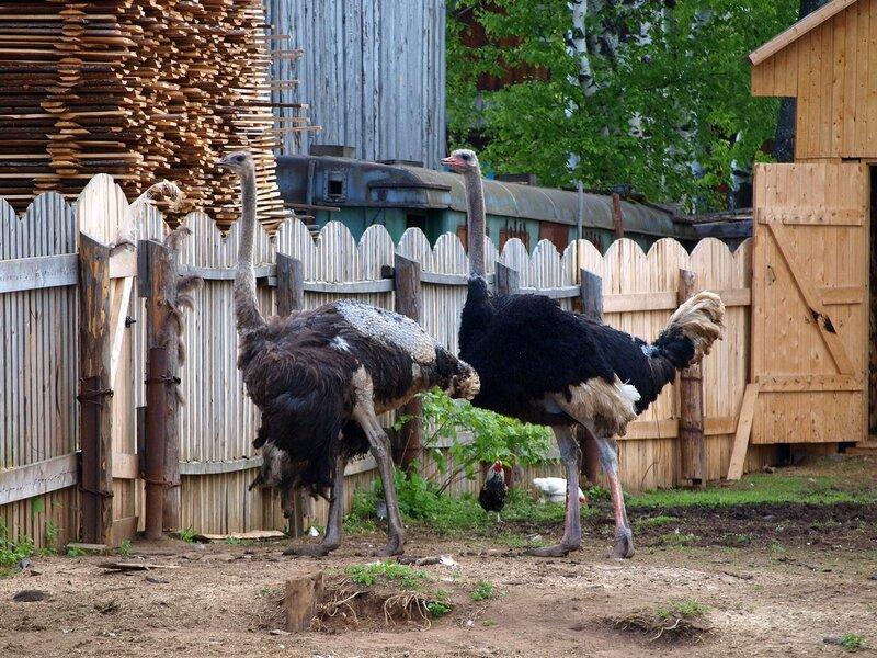 страусы на ферме в Белореченске