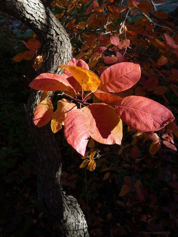 Листья скумпии в тени
