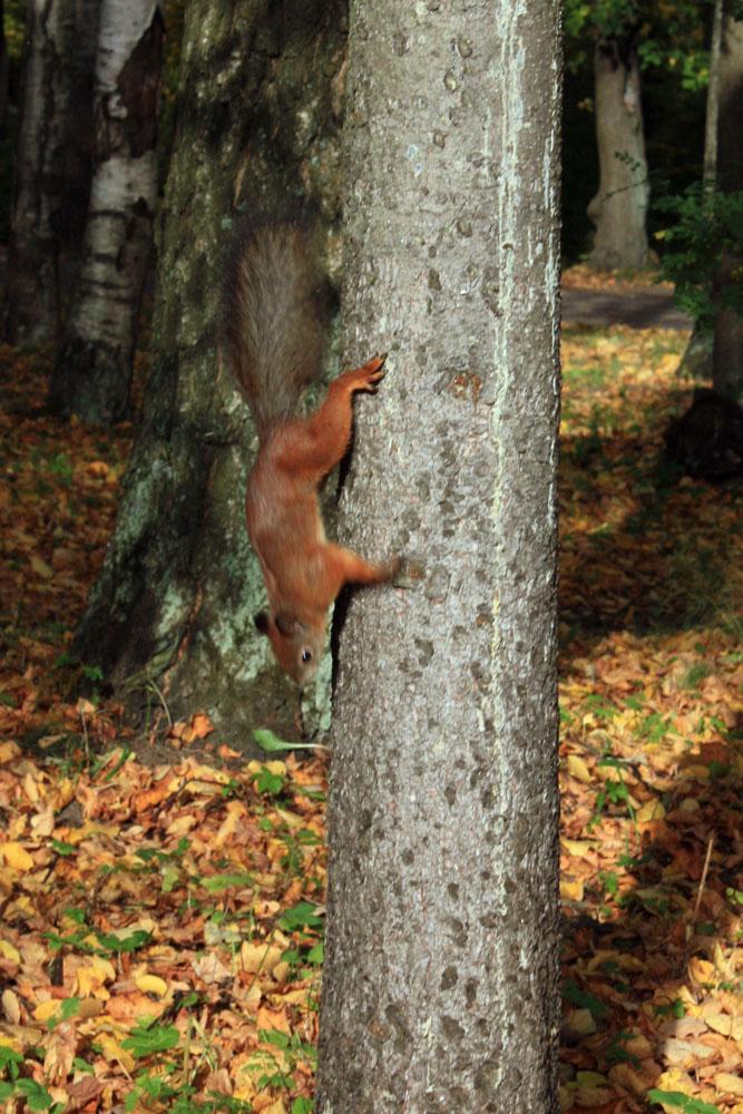 Спускающаяся с дерева белка