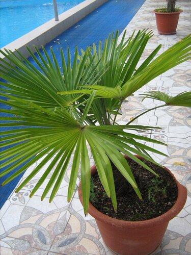 Пальма вашингтония  уход в домашних условиях Фото и
