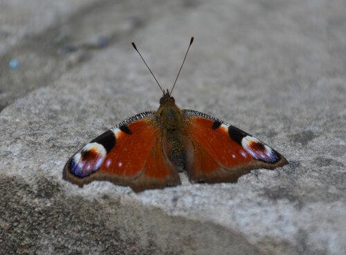 бабочка, бабочка-красавица, природа, насекомые