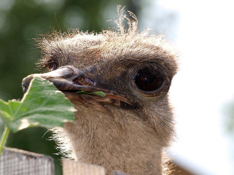 Страус на ферме в Белореченске кушает листик (Struthio camelus)
