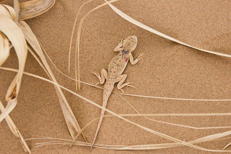 круглоголовка в пустыне Кубучи (Кузупчи)
