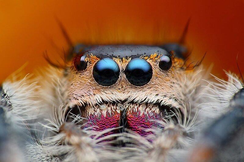 Прыгающие пауки: 6