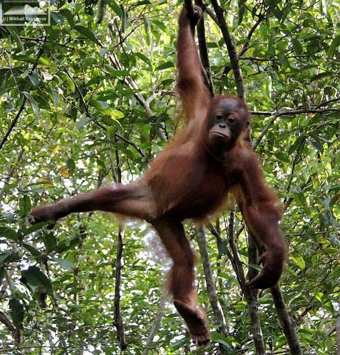 дереве на фото орангутанга