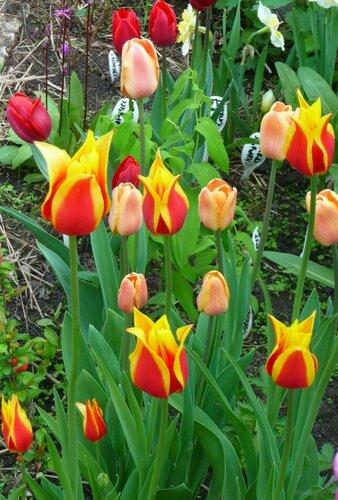 Тюльпаны - Страница 6 0_12c313_93150017_L