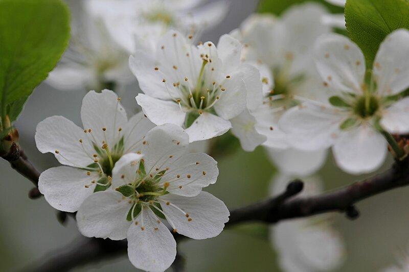 Белые цветки тёрна с белыми лепестками и жёлтыми тычинками