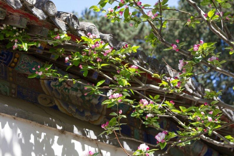 Яблоня, парк Сяншань, Пекин