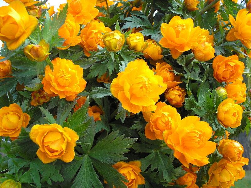 Цветы жарки картинки 7