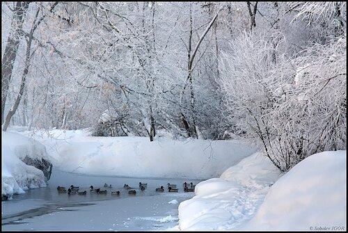В тихой заводи - утки водятся...
