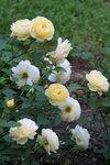 Graham Thomas® (AUSmas) грЭхем тОмас Austin Великобритания, 1983 Английские розы (English Rose, Austin)