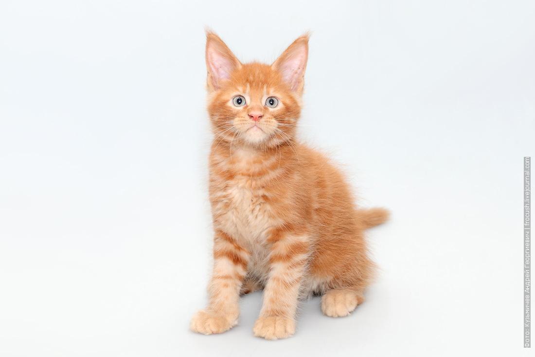 котенок мейн-кун питомник в Москве продам