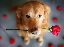 Песик в качестве извинения принес розу