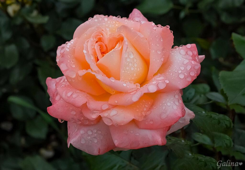 Роза дождя