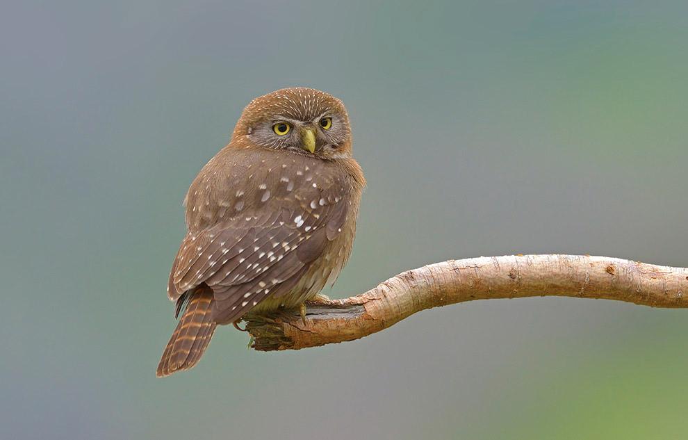 13. Иногда мелкие птицы сбиваются в стаи и атакуют сычей толпами, что может быть крайне опасно.
