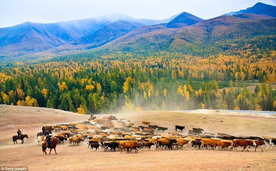 11. Пастух гонит скот по алтайским лугам в Синьцзянь-Уйгурском автономном округе во время сезонной м