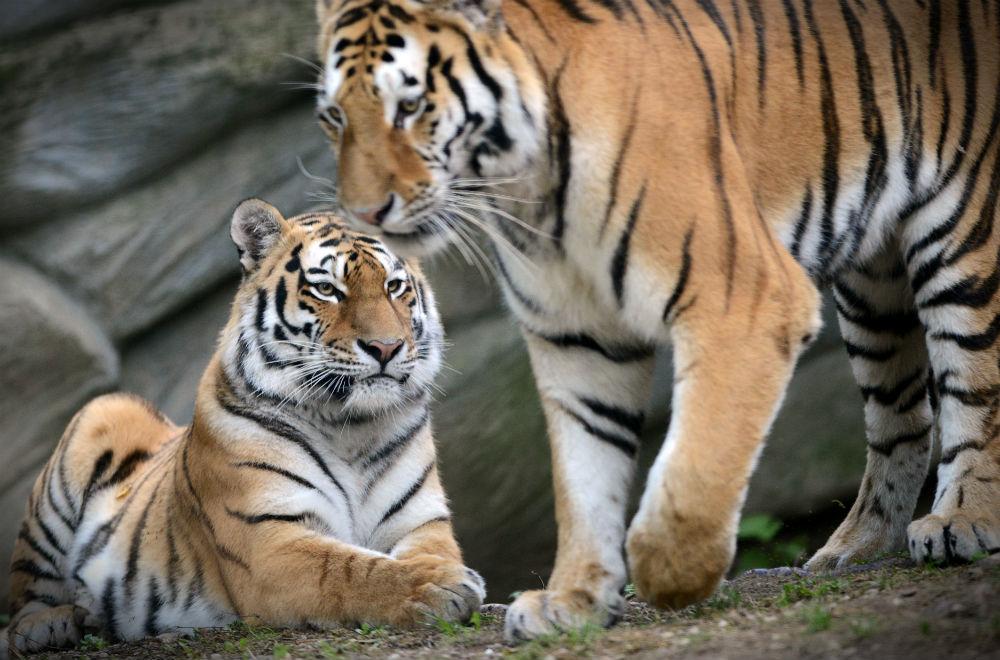 Тигры и селфи Подробно изучив достопримечательности Нью-Йорка, вы включили в свою обязательную прогр