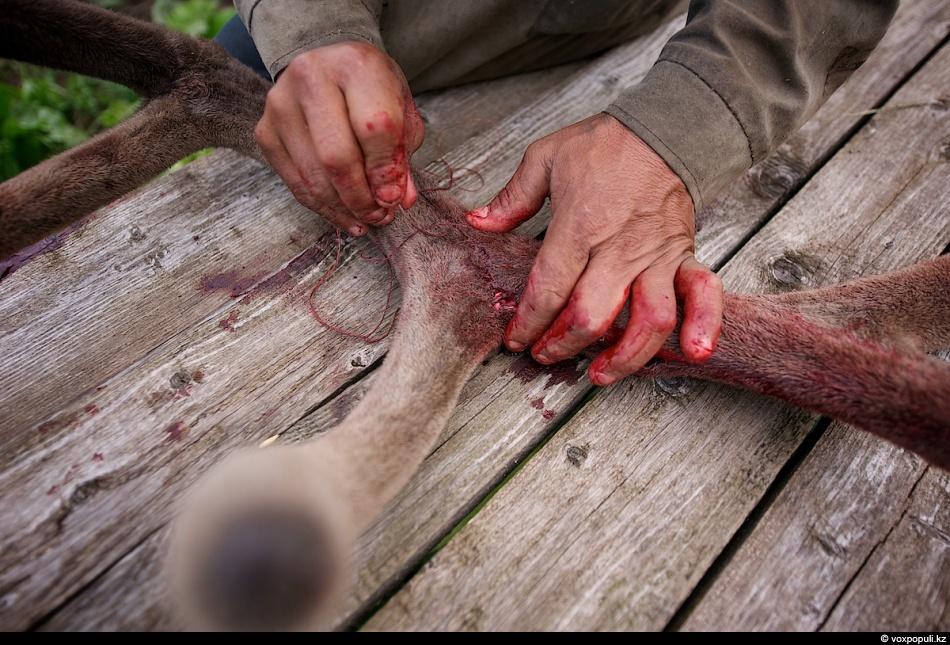 25. Сломаные панты собирают и сшивают. Такой рог считается уже бракованным и продается на рынке по с