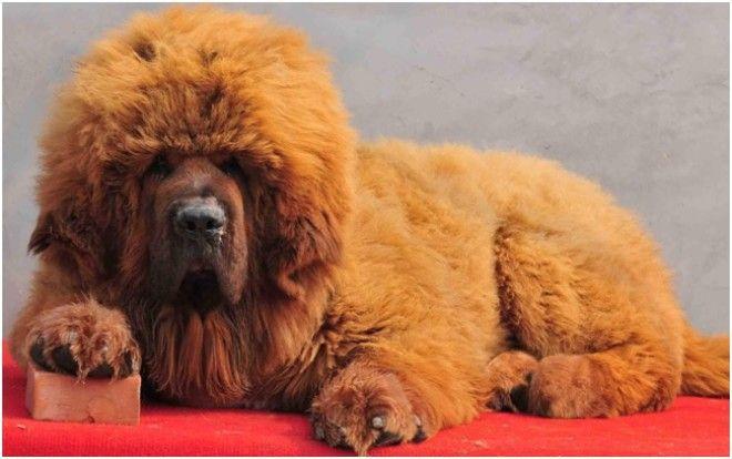 Тибетский мастиф Эти собаки считаются одними из древних, наиболее крупных, еще и самых дорогих пород