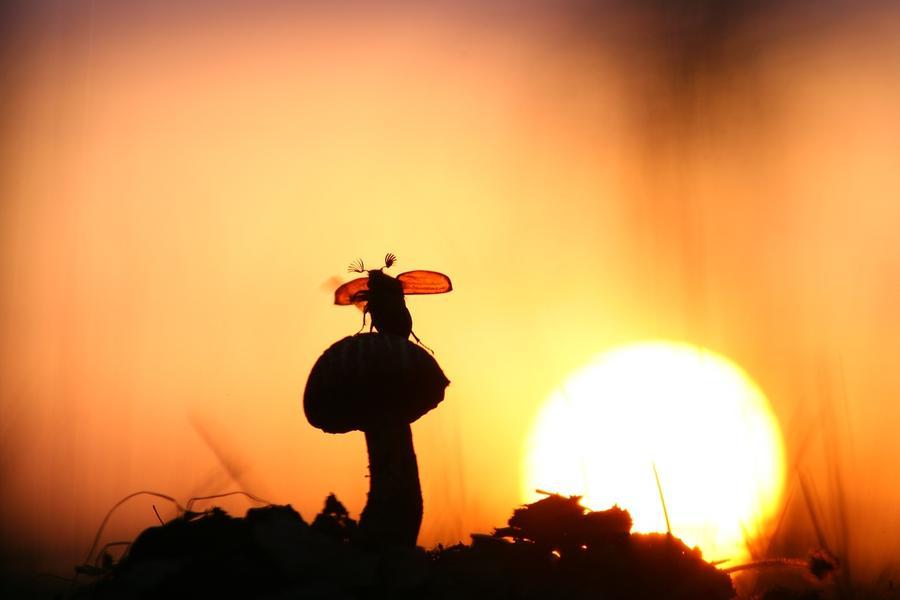 14. В полет Вечером на закате залезший на гриб майский жук выглядит просто сказочно.
