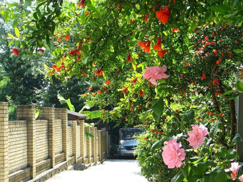Цветёт дерево граната