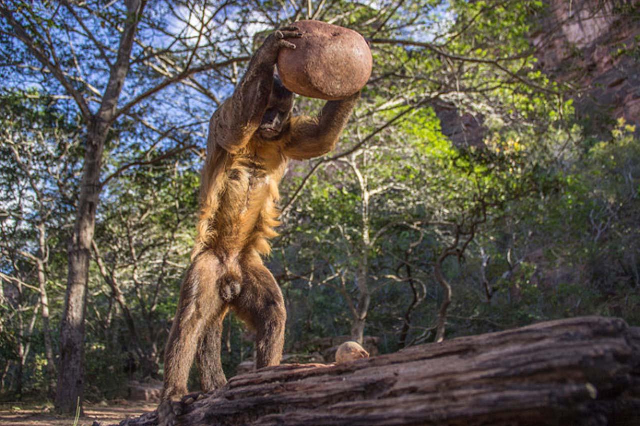 An adult wild bearded capuchin monkey разбивает камнем крепкий кокосовый орех.