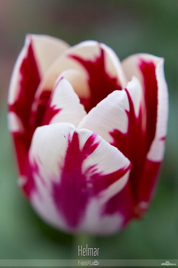 Я люблю все цветы, выпуск #97 | «Тюльпаны - улыбка Весны».
