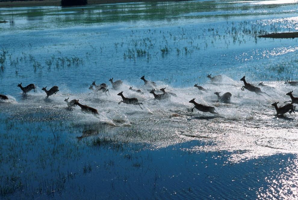6. Стадо африканских антилоп Личи в дельте реки Окаванго